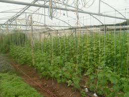 شهرستان فردوس مقام اول تولیدات گلخانه ای استان