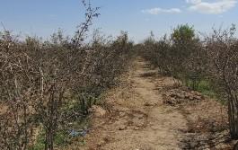 خسارت 36میلیاردی سرمازدگی به باغات شهرستان فردوس